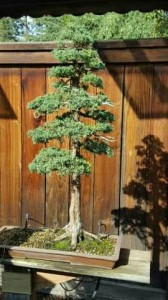 2016bonsai_tree2