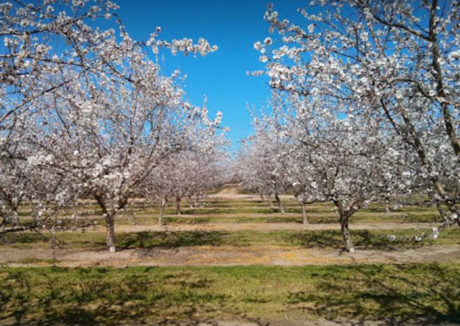 2018almond-orchard