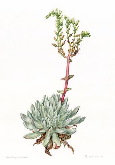 Dudleya greenei by Ellie Yun-Hui Tu