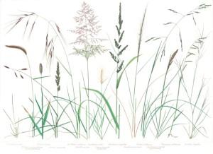 Jakob Ca native grasses
