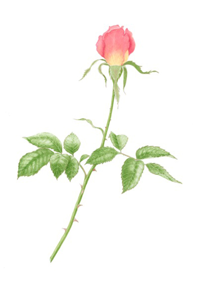 Rosebud (2014